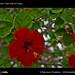 961_D7D8062_bis_hibiscus