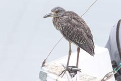 Back, Juv. Yellow-crowned Night Heron