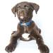 Hugo A206000 - Lab Puppy-5