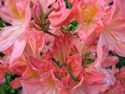 rhodedondron