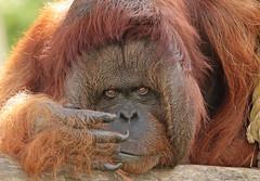borneo orangutan Kevin Apenheul BB2A9833