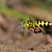 Wasp With Caterpillar by karthik Nature photography