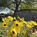 sunny daisies #springtime #graveyard #flowers #running #lovethetron