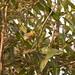 saí-canário (Thlypopsis sordida)