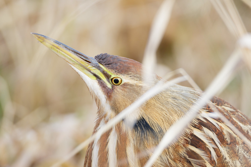 A close-up of an American bittern