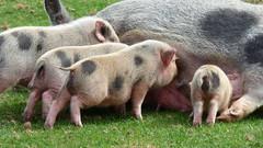Cerza Zoo - piglet (2)