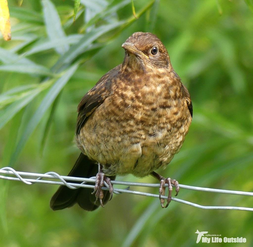 P1100489 - Blackbird, Isle of Mull
