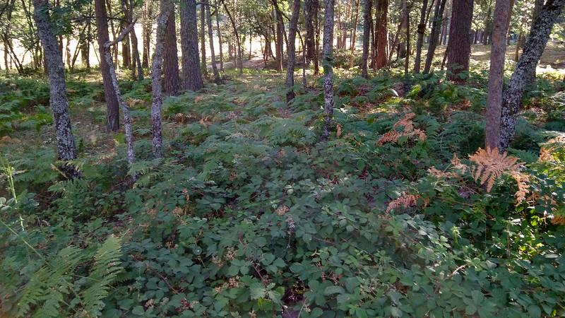 Helechos bajo la sombra de los pinos