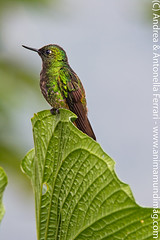 Buff-tailed Coronet hummingbird Boissonneaua flavescens
