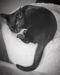 I barely filled to top of this mini kitty bed, but my tail is as long as ever! #fbf #flashbackfriday #kitten #sleepykitty #sleepingkitty #sleepingkitten #blackcat #blackcats #cat #cats #kitty #kittycat #kittygram #blackcatsofinstagram #exferal #queencat #