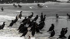 Skarv, Great Cormorant, Kormoran (Phalacrocorax carbo)-10