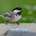 Black-capped Chickadee-43590.jpg