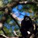 Mantled Howler Monkey (Alouatta palliata) male ...