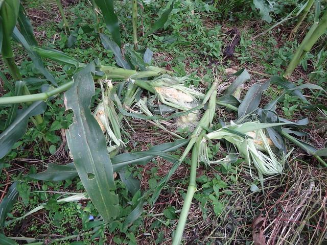 食われた熟したトウモロコシDSC03848