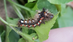 The Knot Grass moth caterpillar – Acronicta rumicis