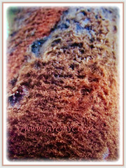 Mesmerising thick brown reddish tomentum of Dypsis leptocheilos (Redneck Palm, Teddy Bear Palm, Red Fuzzy Palm), 7 Sept 2017