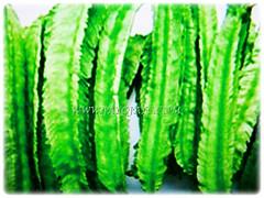Recently harvested green fruits of Psophocarpus tetragonolobus (Four-angled Bean, Winged Bean/Pea, Princess/Asparagus Pea, Manila/Goa Bean, Kacang Botol in Malay), 28 Sept 2017