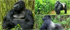 Gorilla Trekking Uganda Offer The Greatest Gorilla Trekking And Wildlife Safaris To Uganda
