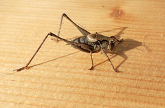 HolderFemale dark bush cricket (6)
