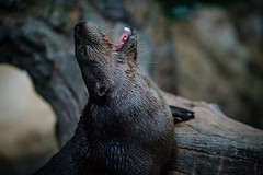 River Otter Noms at National Zoo
