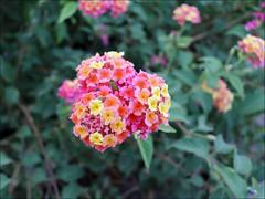 Multi-color lantana