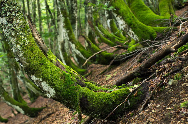 the curly forest