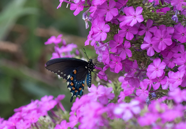 Pipevine Swallowtail on Phlox paniculata