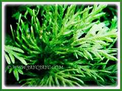 Captivating green and tripinnate foliage of Selaginella plana