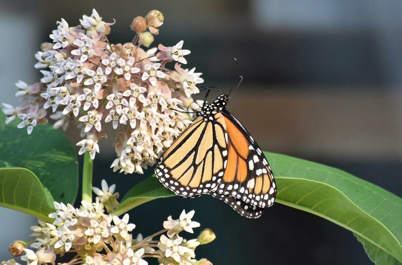 Monarch butterfly Side view