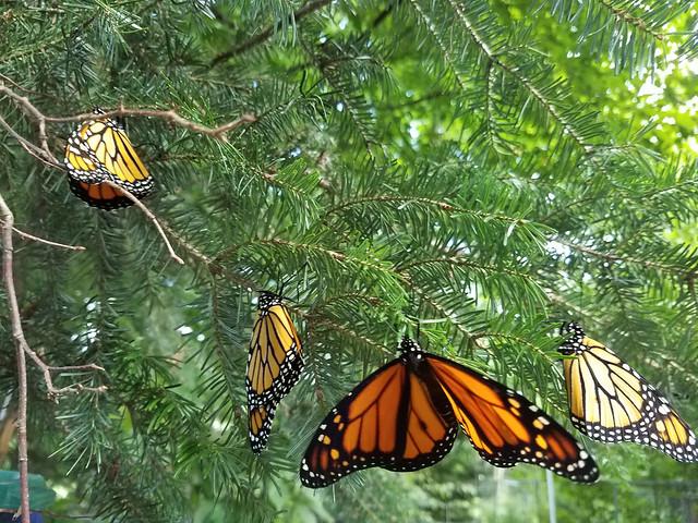 butterflies_balsam