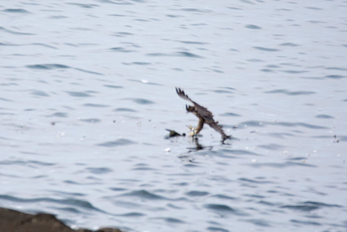 日, 2017-08-13 07:29 - 海上にいた鳥に襲いかかり、仕留めたところ。