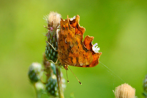Comma butterfly feeding on thistle flower