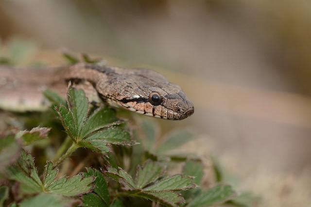 southern smooth snake, Nikon D7100, Sigma Macro 105mm F2.8 EX DG OS HSM
