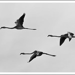 Vol de flamants roses (N&B)