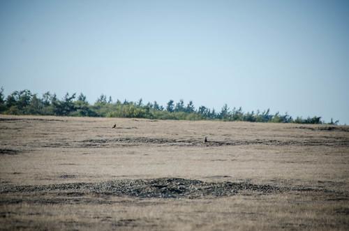 Wild Rabbits on San Juan Island-002