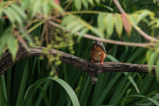 20170827-Kingfisher-DSC_1137