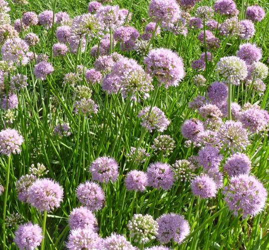 Allium nutans 36794777641_5f68c58c05_o