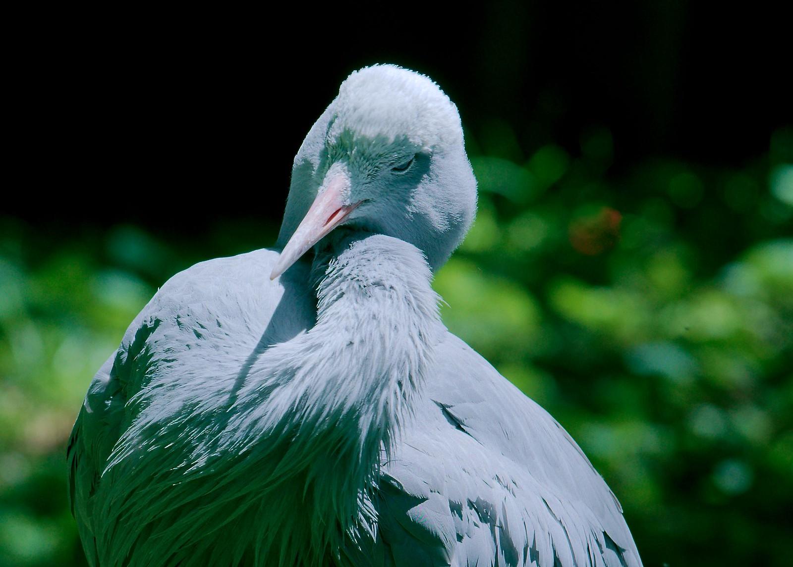 Blue Crane_6