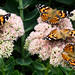 This sedum plant attracts many butterflies and other insects