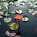 San Juanwater lily by Mike-Hope (1 of 1)