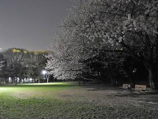 千葉公園お花見広場 夜桜04 姿は見えねど語らう声