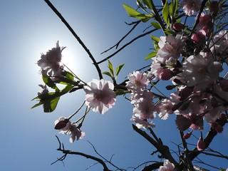 降る桜 4