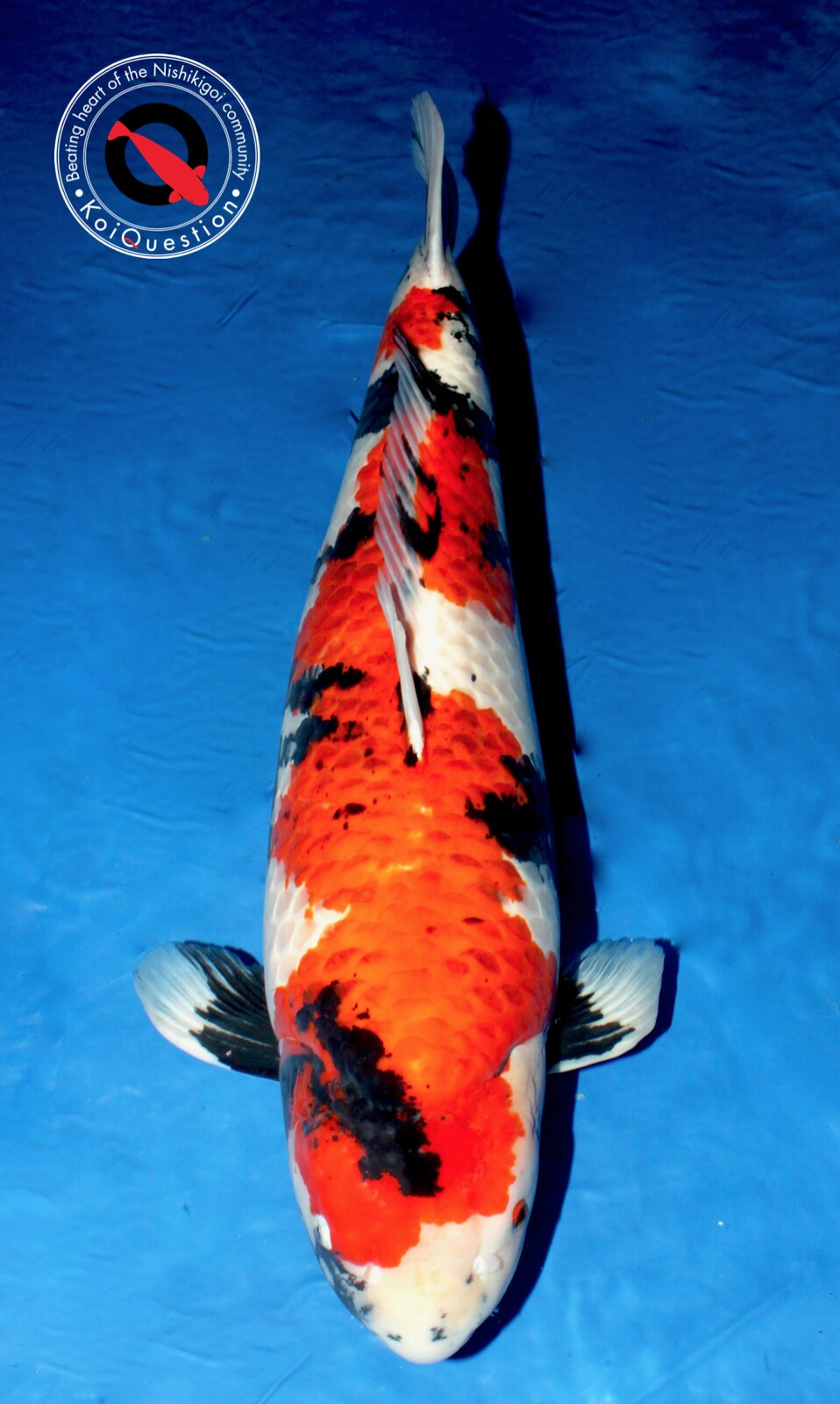 Major Awards Italian Koi Show 2017