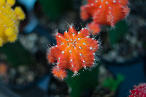 Closeup of Cactus in Chinatown | by SammyIsra