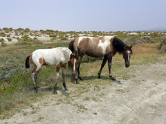 Wild horses at Trego Hot Springs
