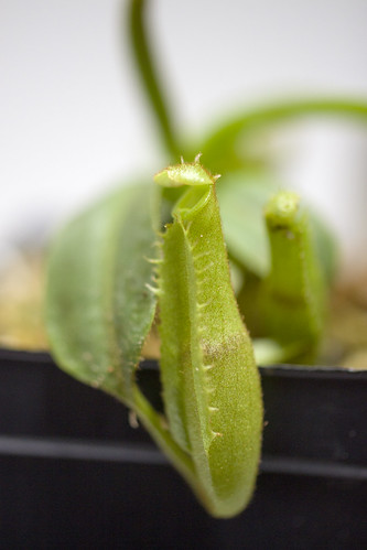Nepenthes platychila NE
