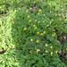 10 Yellow Anemone Firhall, Nairn 230317