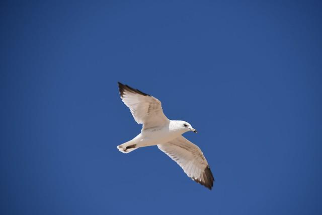 Seagull in Flight, Nikon D810, AF-S Nikkor 28-300mm f/3.5-5.6G ED VR