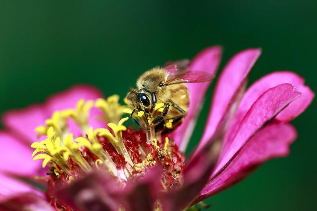 Honeybee on the Zinnia