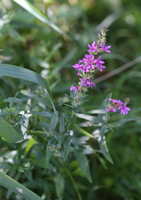 Purple Loosestrife - Pulborought to Petworth